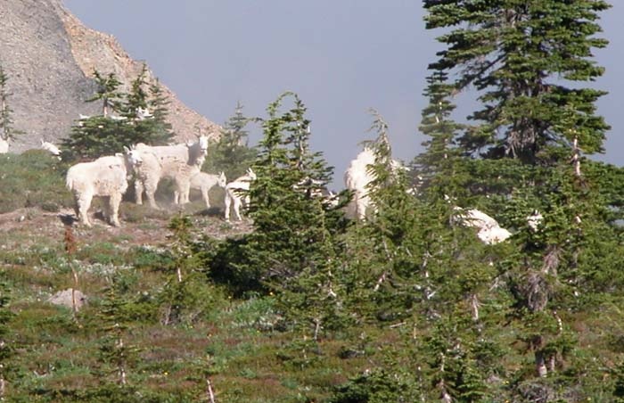 A herd of the Mountain Goats that have given this Wilderness area its name.