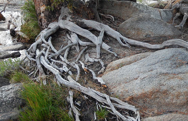 Fantastic root structure alongside Bear Creek
