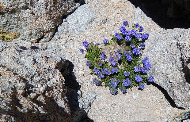 "The fabulous ""Sky Pilot"" blooms in the rocks at 13,200' on Mount Langley."