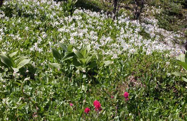 An abundant display of white Avalanche Lilies and a scattering of the Magenta Paintbrush