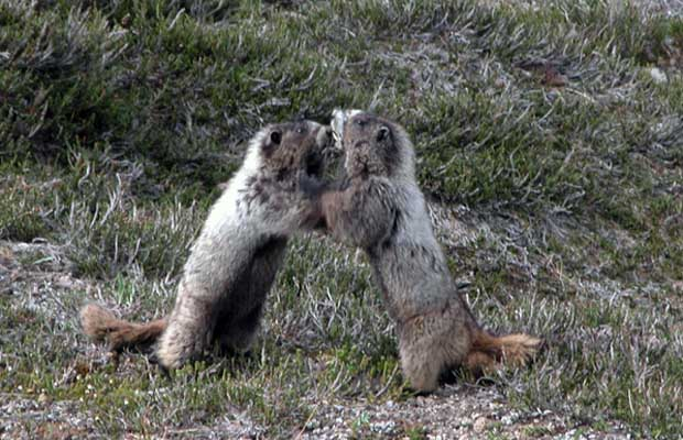 Dueling marmots ... or whatever they're doing? Cute little critters, but pesky!