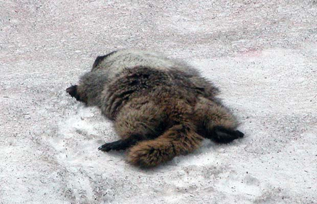 A marmot cooling off on the snow.