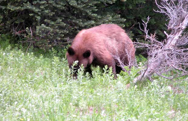 A cinnamon colored black bear encountered by the side of the trail, south of Indian Bar