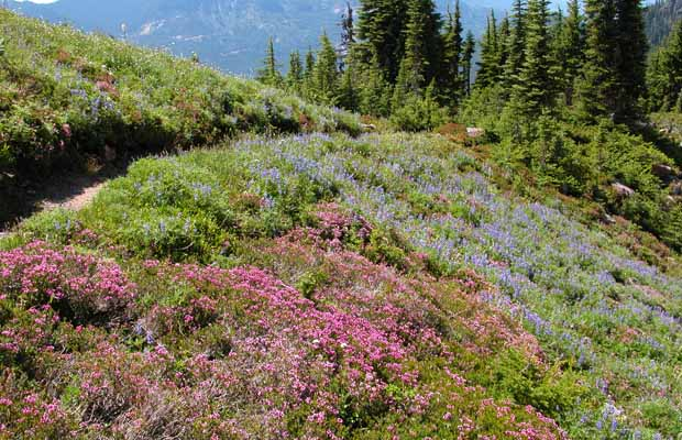 A prolific display of alpine wildflowers on Emerald Ridge.