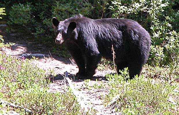 A large black bear surprised by our arrival at the Golden Lakes campsite.