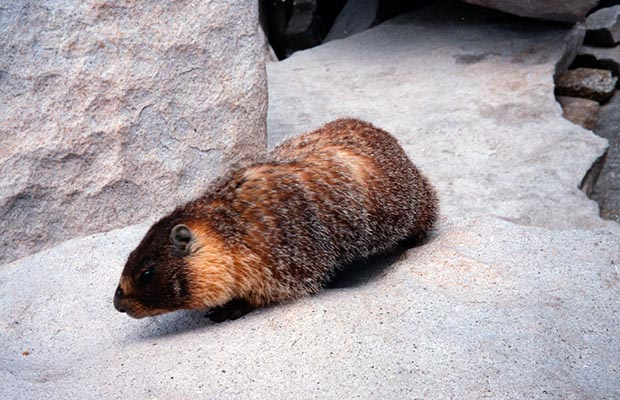 June 1988, a happy little critter on the summit of Whitney - Mr Marmot looking for a handout!